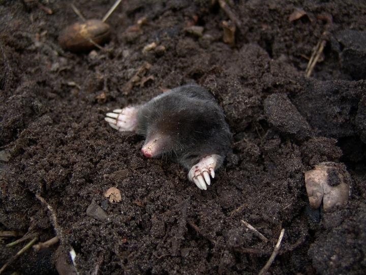 How to Get Rid of Moles in Yard with Juicy Fruit Gum