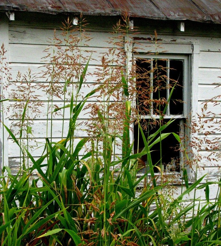 Weed Control Tips – How to Kill Johnson Grass