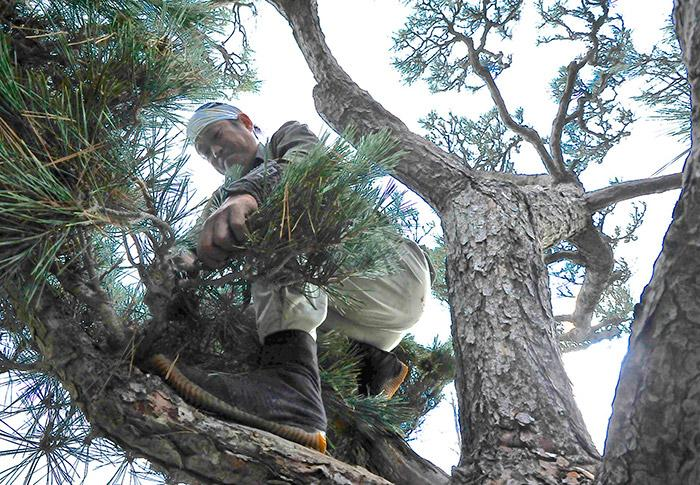 How to Trim a Pine Tree Without Killing It