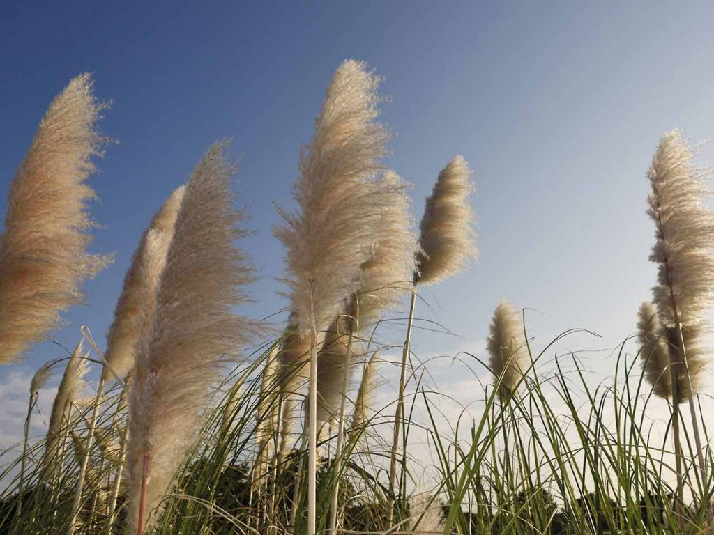 How to Grow Pampas Grass from Seed