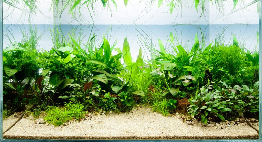 Best Live Plants for Betta Fishes Review and Buying Guide