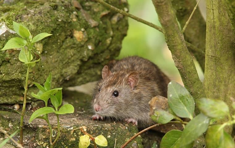 How to Get Rid of Rats in Yard Without Harming Pets