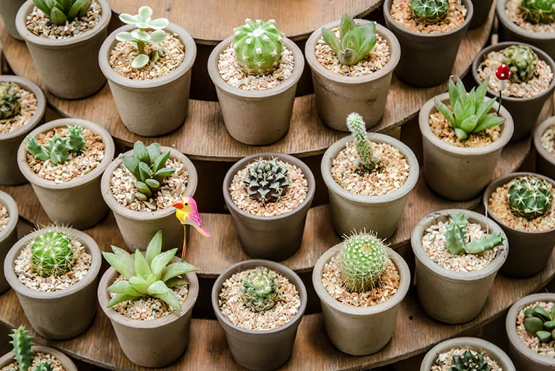 How Big Do Succulents Get? Home Gardening Guide