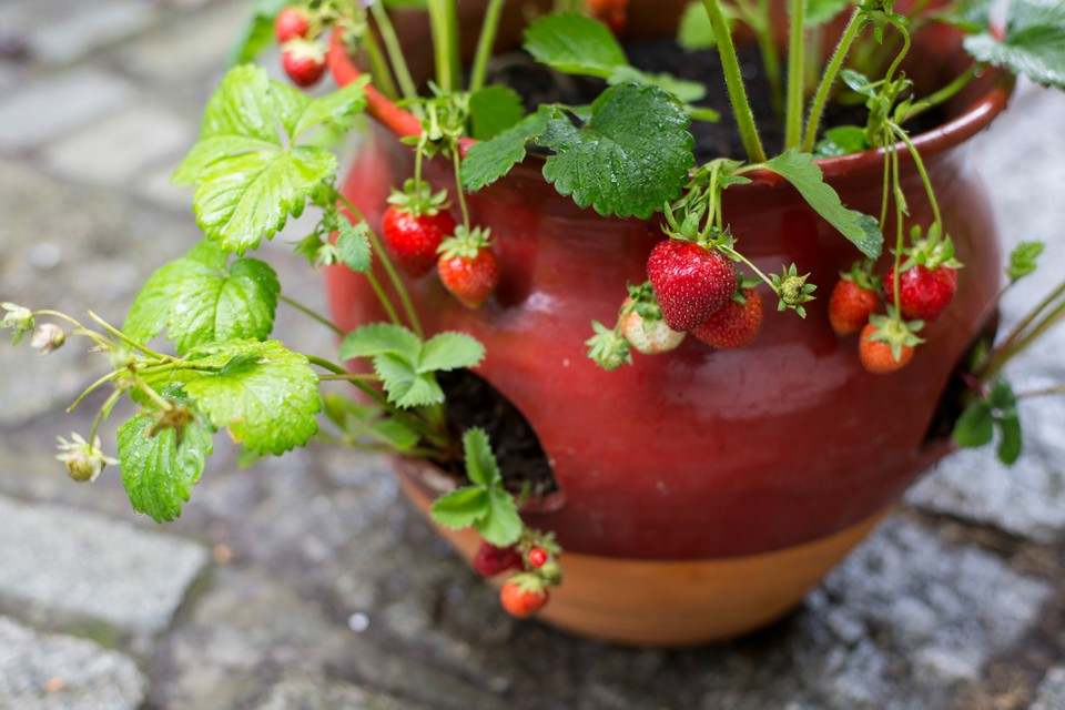 How to Grow Strawberries Hydroponically (Guide for Beginners)