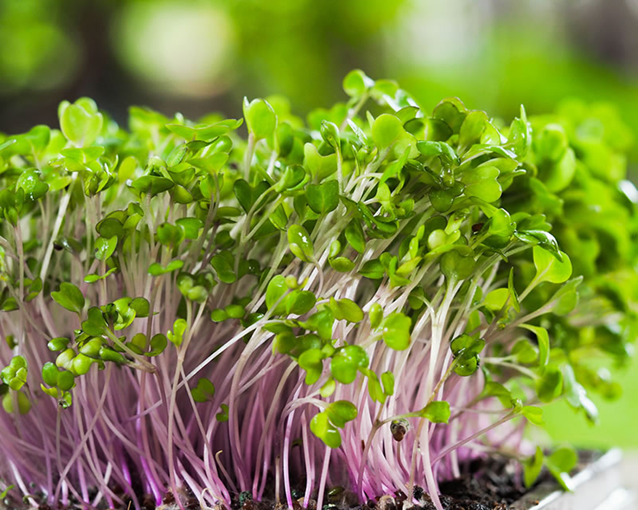Hydroponic Microgreens: How to Grow Microgreens Hydroponically (Without Soil)