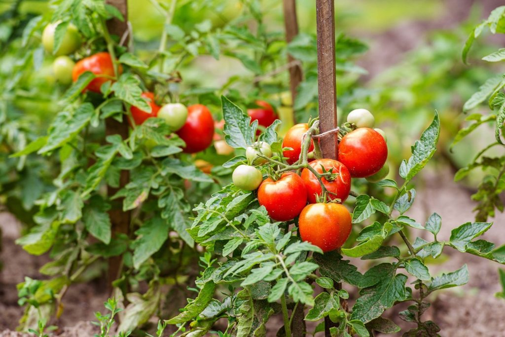 What is the Best Mulch for Tomatoes?