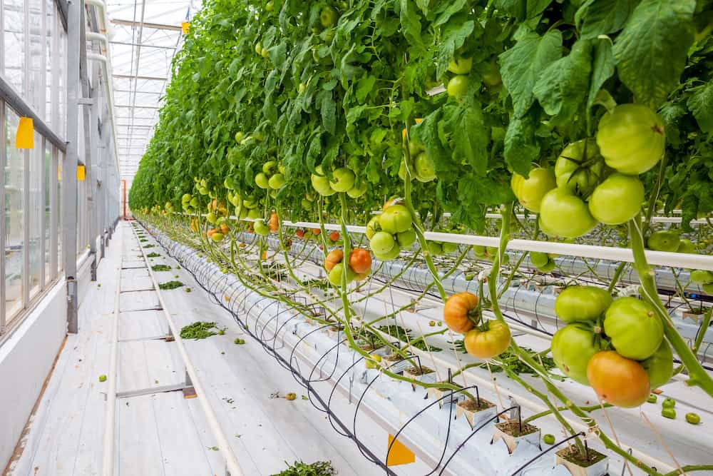 How to Grow Hydroponic Tomato? Best Hydroponic System for Tomatoes