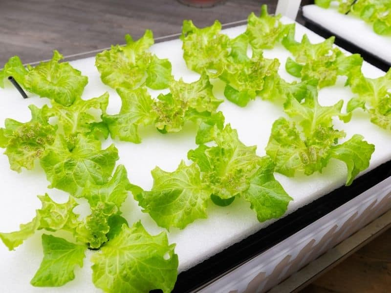 How to Grow Lettuce Hydroponically