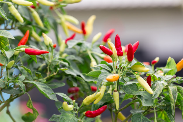 Top 7 Best Fertilizer For Your Peppers