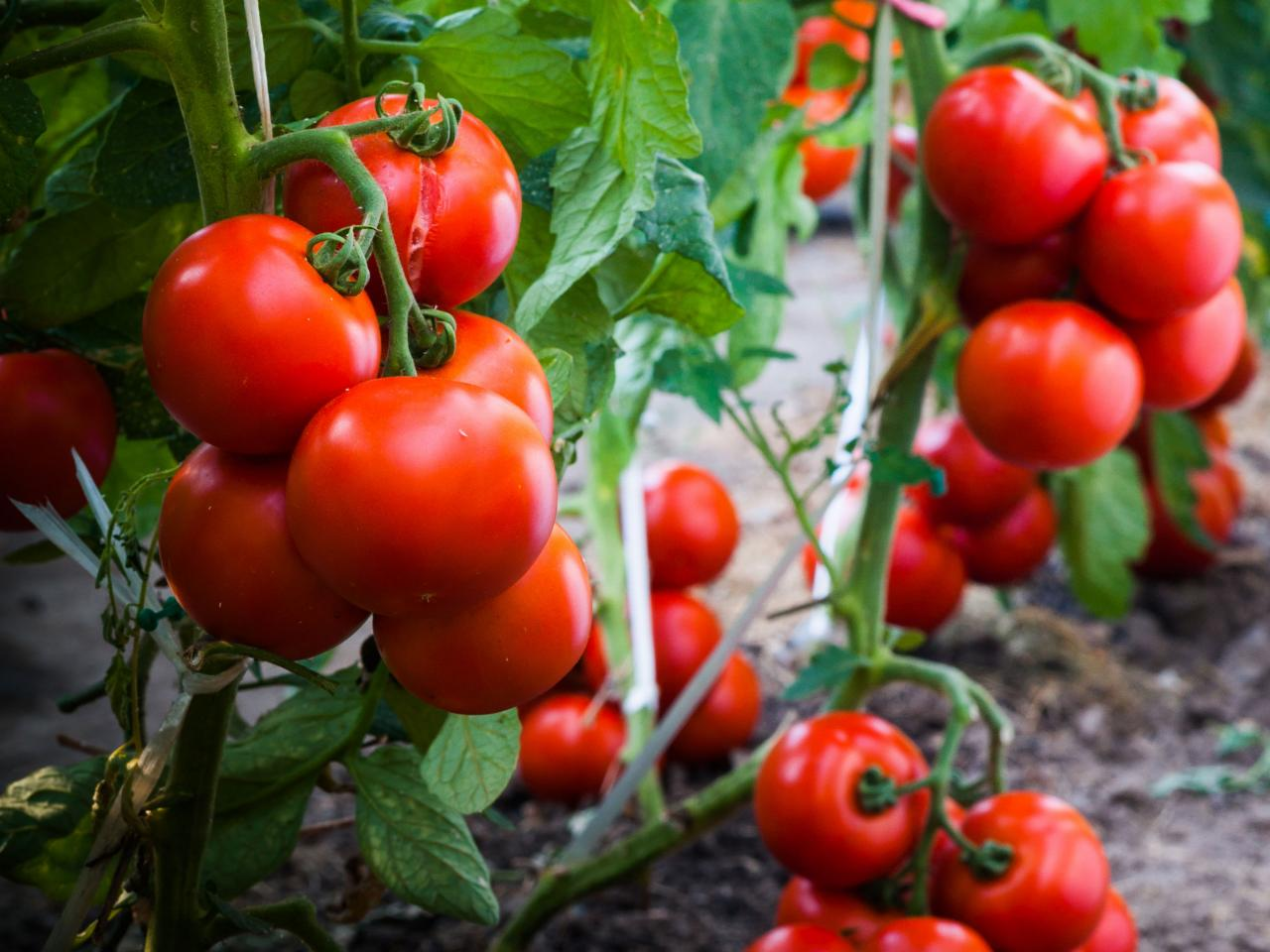 7 Best Organic and Natural Fertilizer for Tomato Plants
