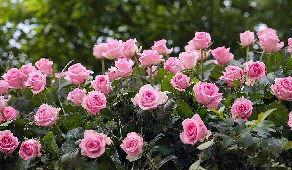 Top 7 Best Fertilizer (Plant Food) for Roses & Buying Guide