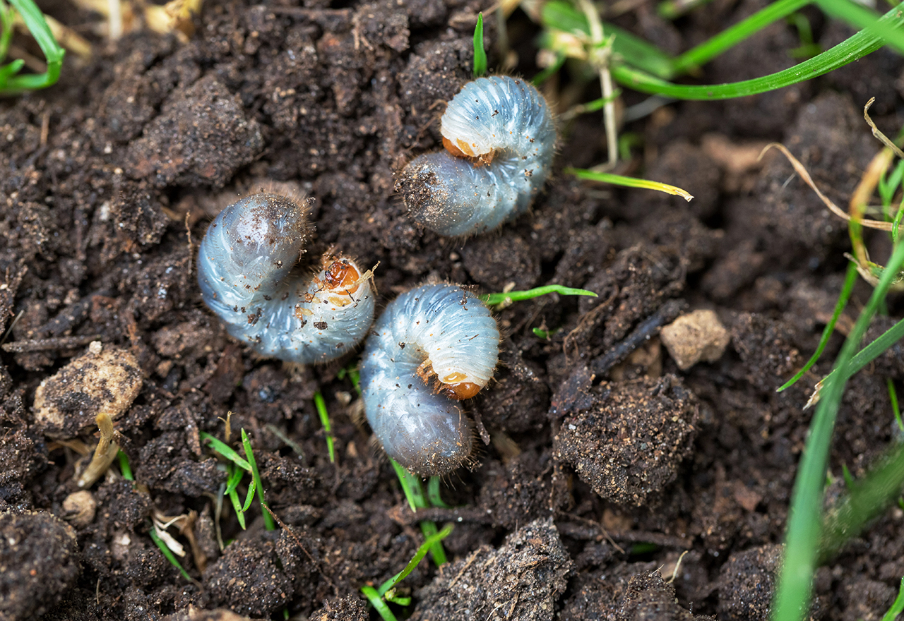 When to Apply Grub Control   Best Time to Treat Your Lawn