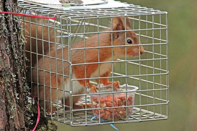 Best Squirrel Trap and How To Capture Them