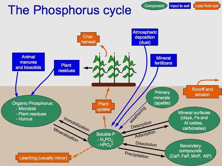What does phosphorus do for plants?
