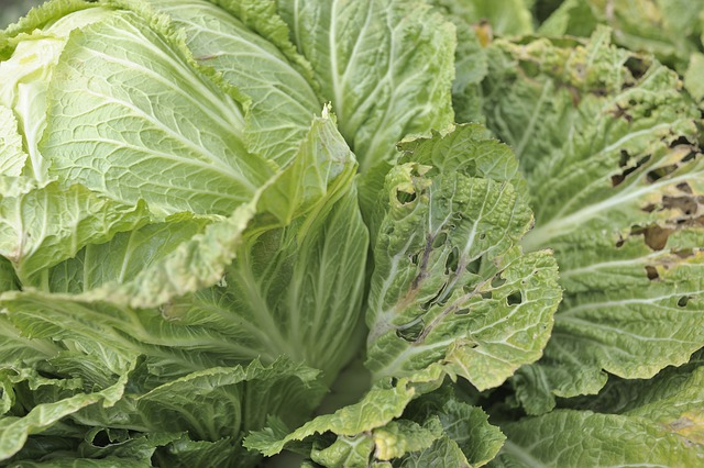 How to Get Rid of Cabbage Worm - Identification and Control