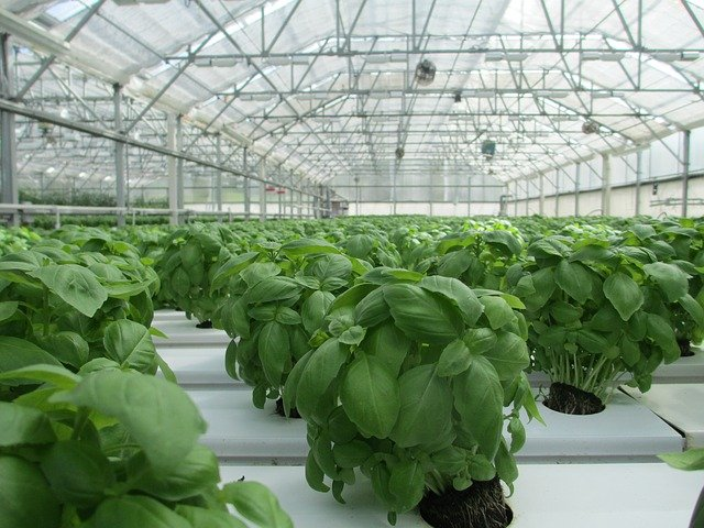 How To Grow Hydroponics Basil Effectively (Ph, Growth Rate)?