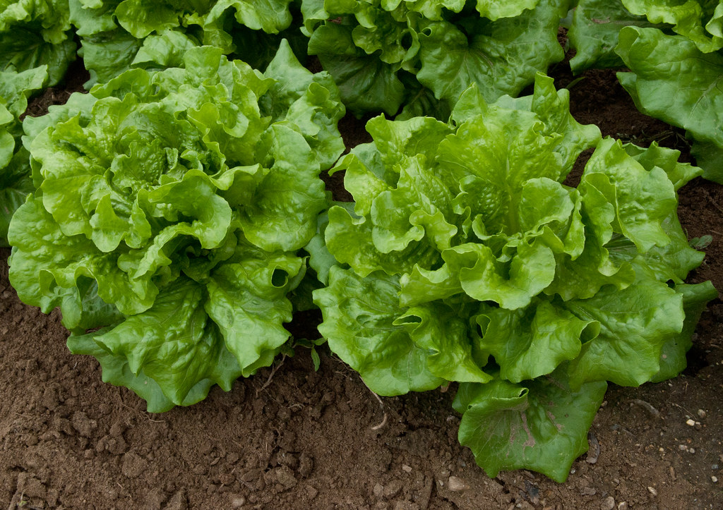 12 Vegetables Grow above Ground that You shouldn't Miss (Expert Suggestions)