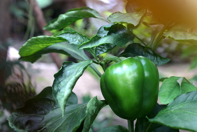 How To Grow Hydroponics Bell Peppers Effectively?