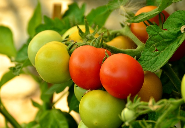 How Often Should You Water Tomato Plants?