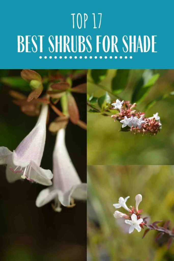 Top 17 Best Shrubs for Shade recommended by Garden Experts