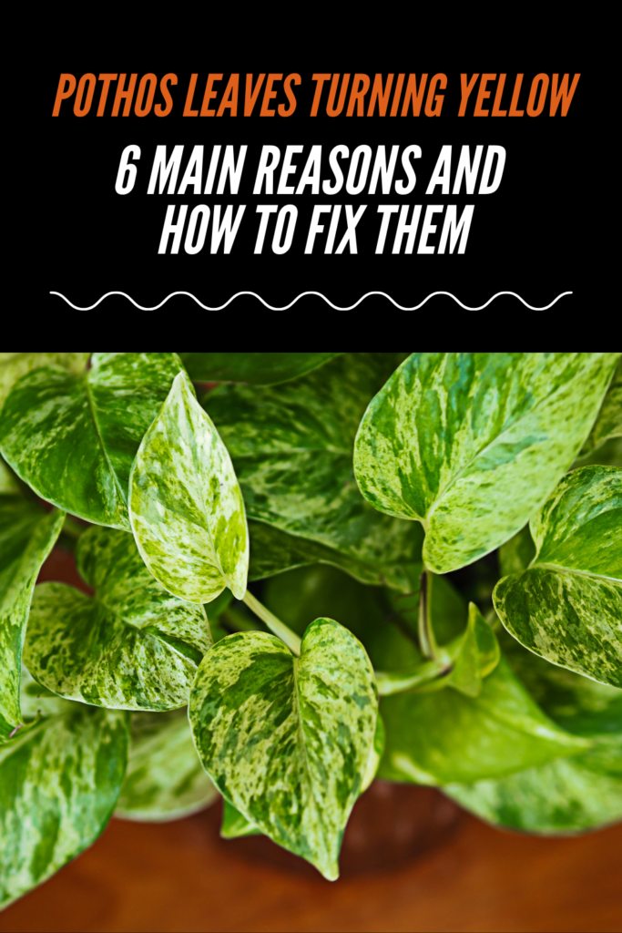 Pothos Leaves Turning Yellow - 6 Main Reasons and How to Fix Them