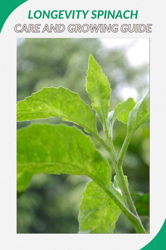 Longevity Spinach: Care and Growing Guide