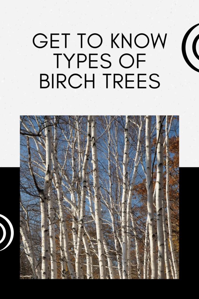 Get To Know Types Of Birch Trees