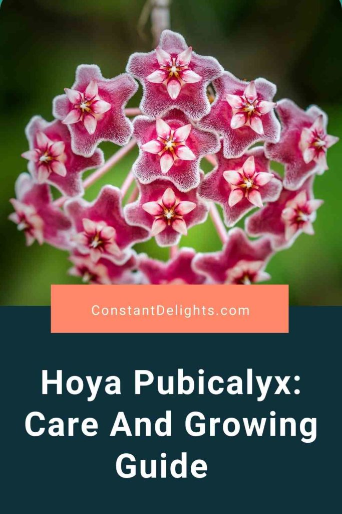Hoya Pubicalyx: Care And Growing Guide