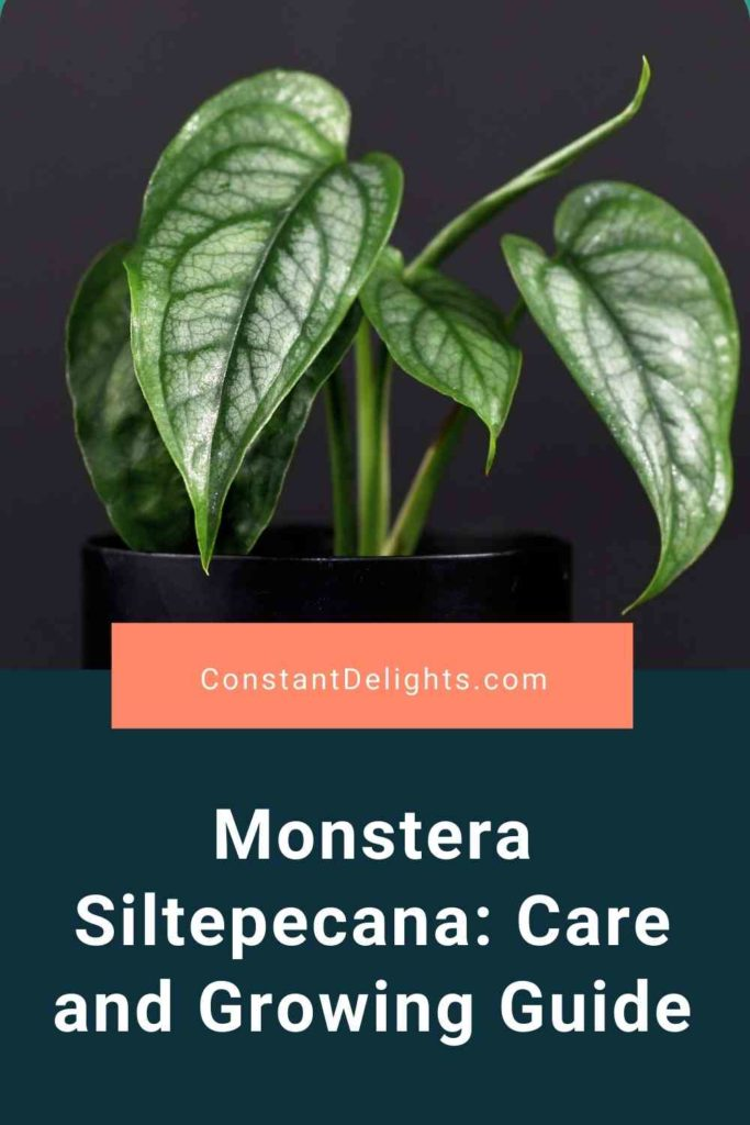 Monstera Siltepecana: Care And Growing Guide