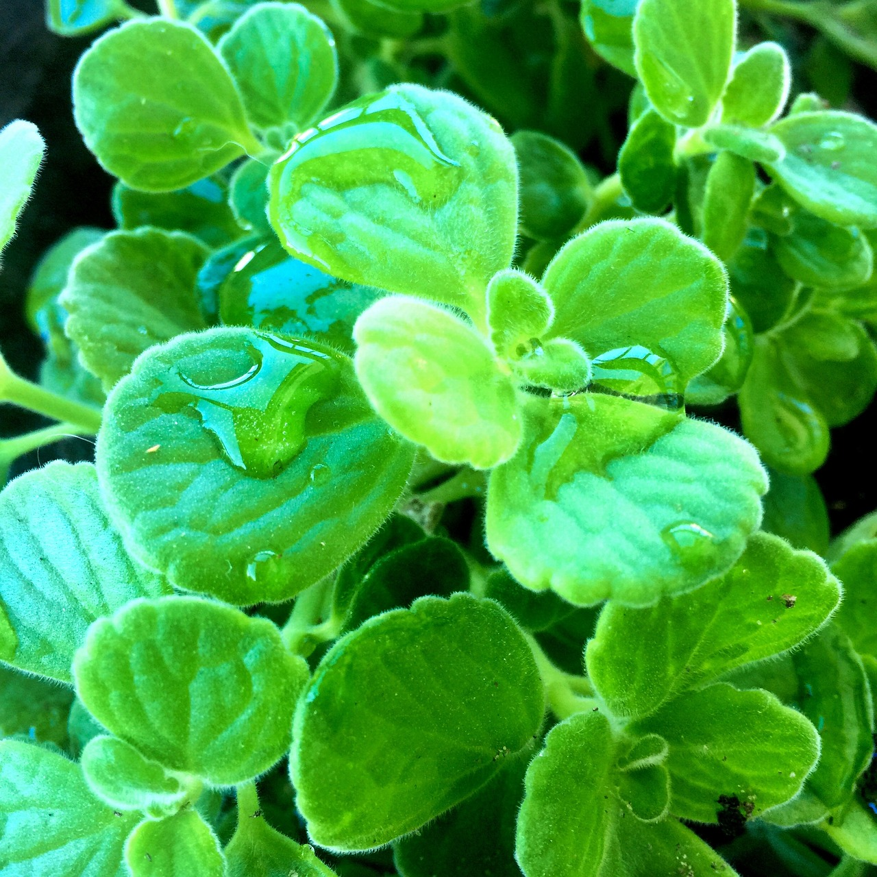 Vicks Plant: Care And Growing Guide