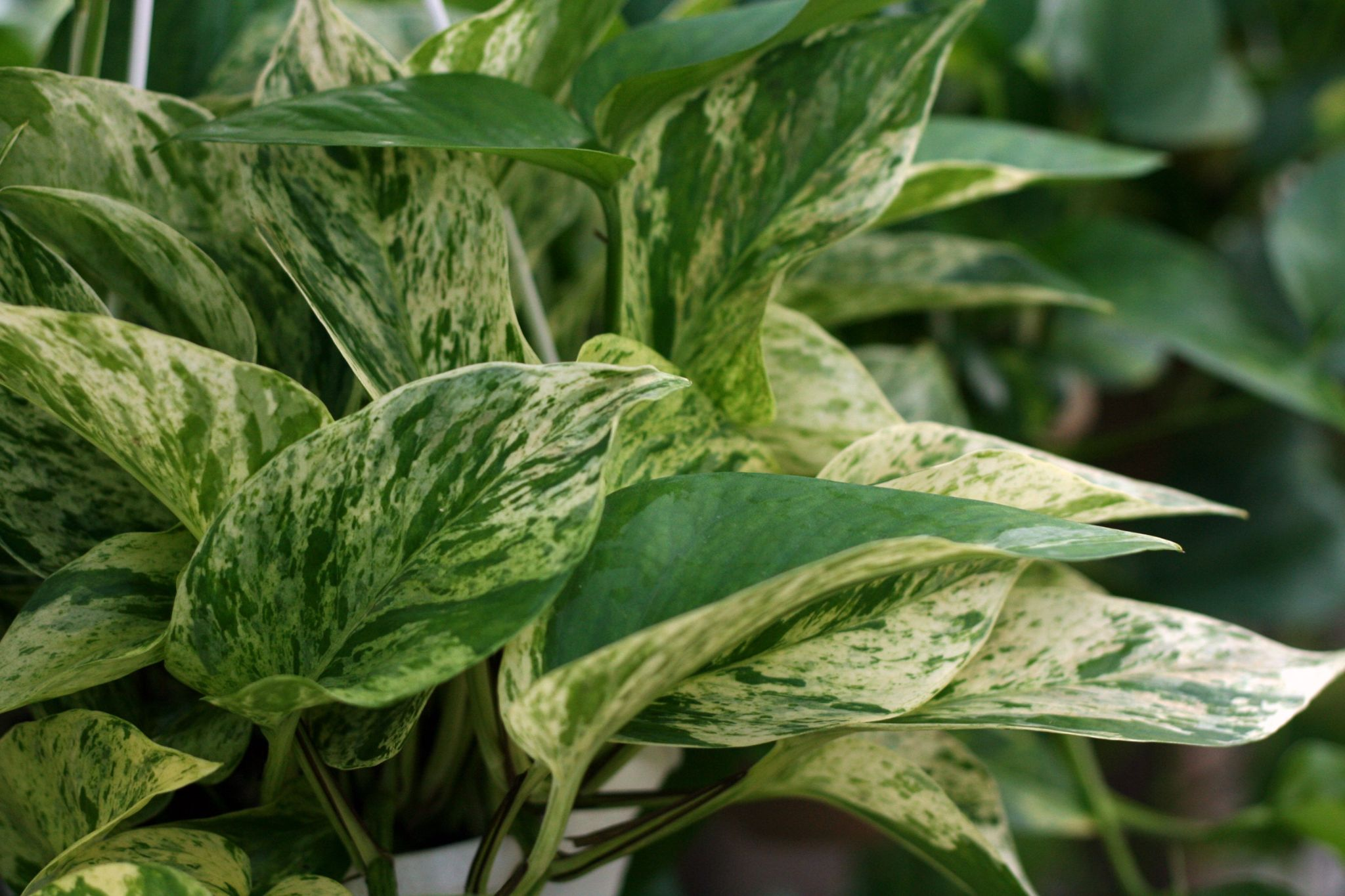 Marble Queen Pothos: Care And Growing Guide