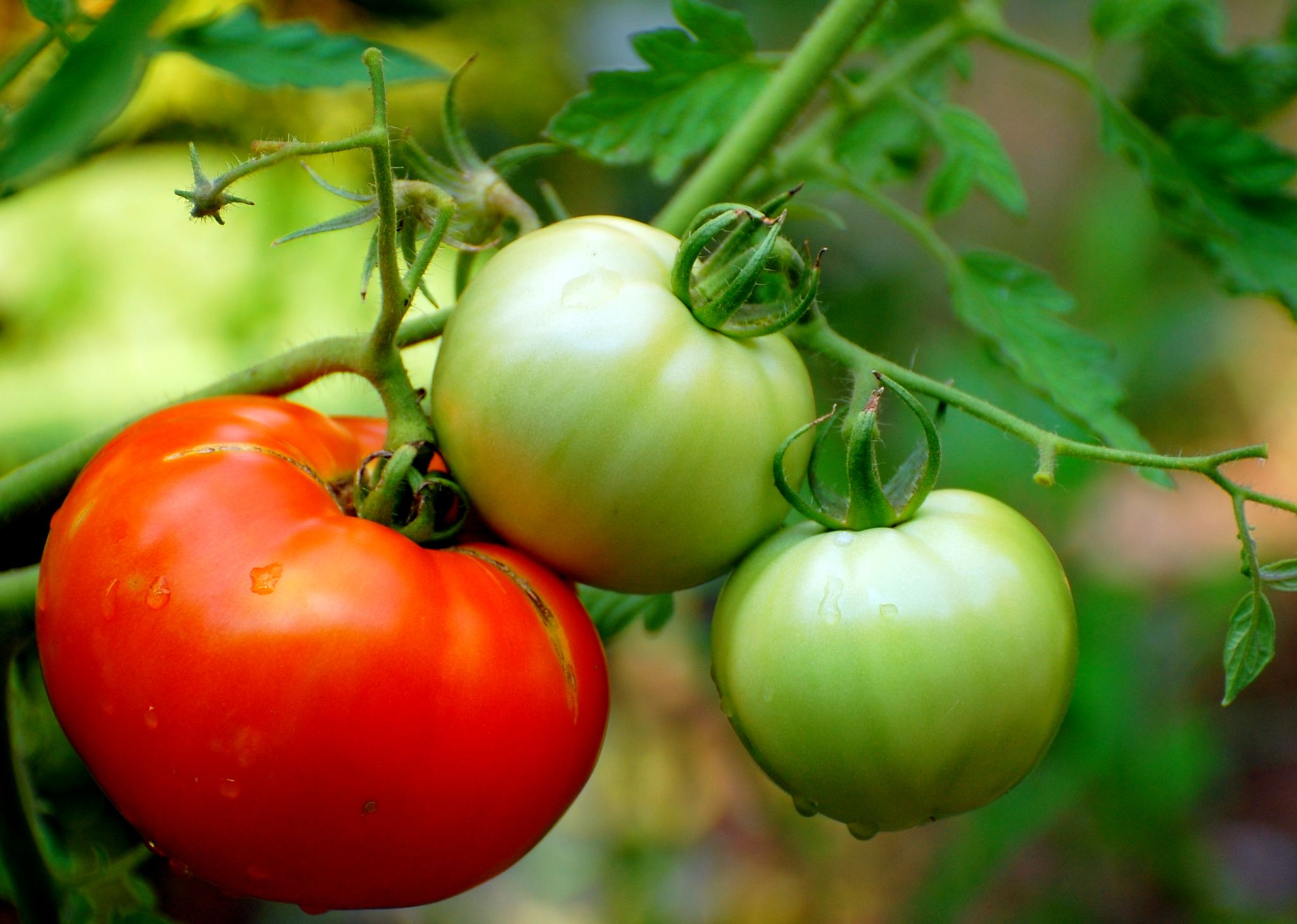 Tomatoes 101: How Far Apart To Plant Tomatoes