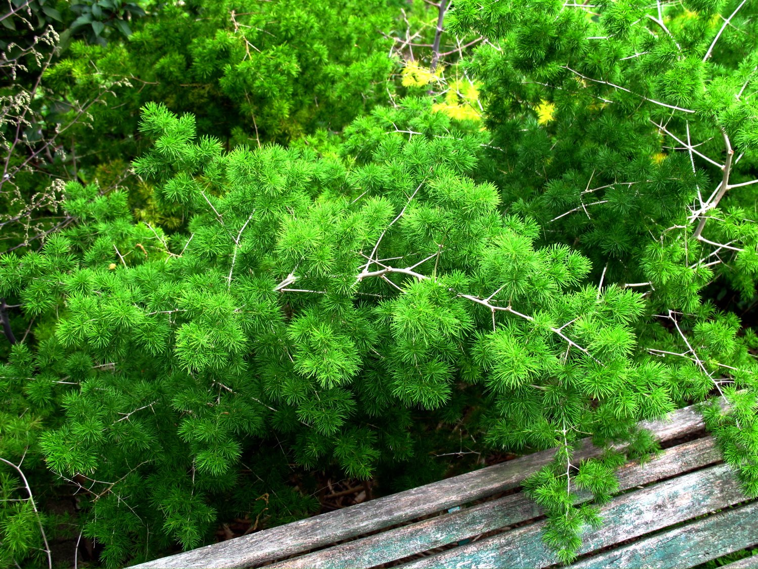 Plumosa Fern: Care And Growing Guide