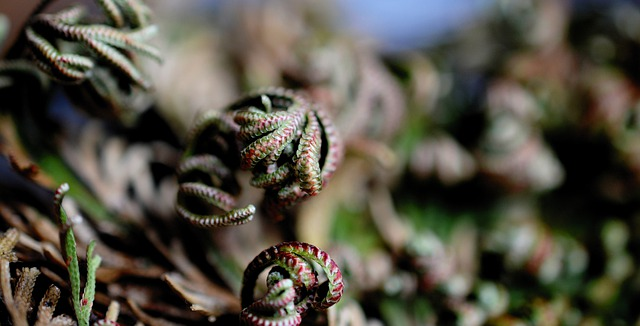 Rose Of Jericho: Care And Growing Guide