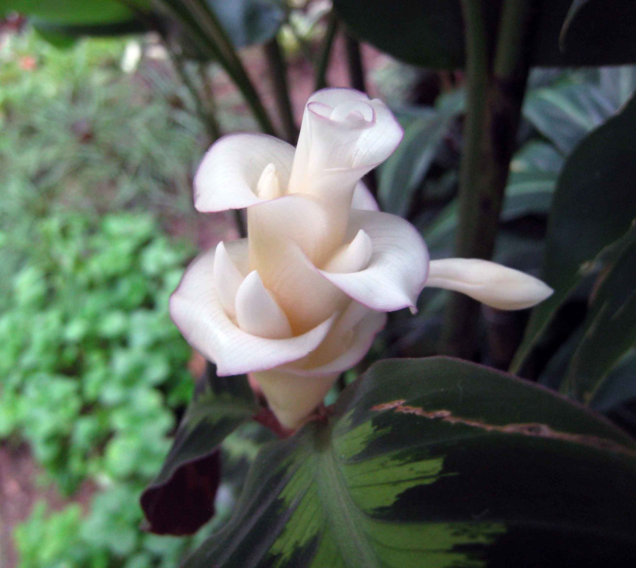 Calathea Freddie: Care and Growing Guide