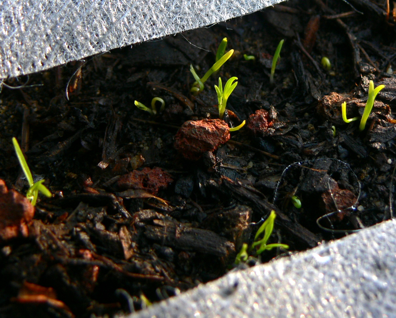 What Do Carrot Sprouts Look Like? Helpful Growing Tips