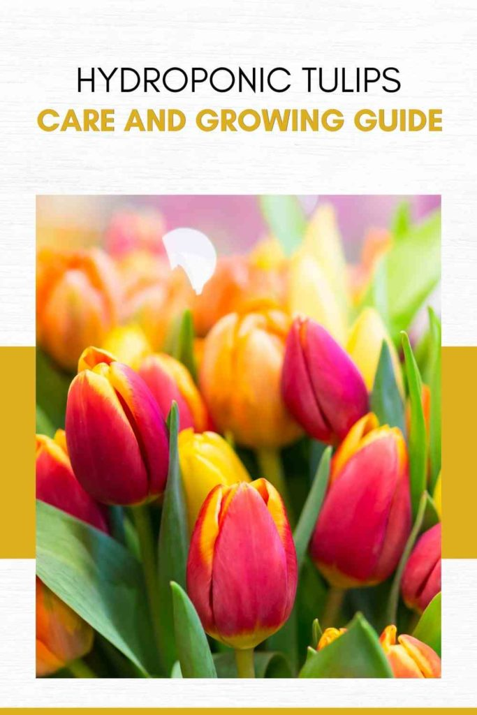 Hydroponic Tulips: Care and Growing Guide