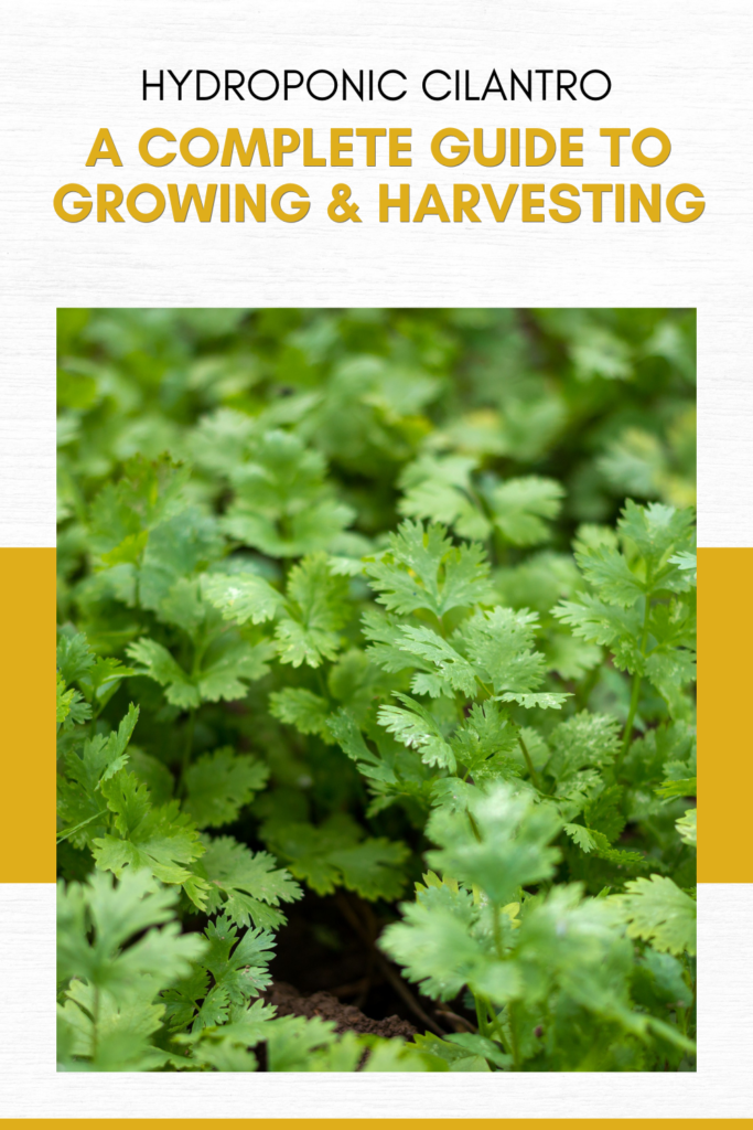 Hydroponic Cilantro: A Complete Guide To Growing & Harvesting