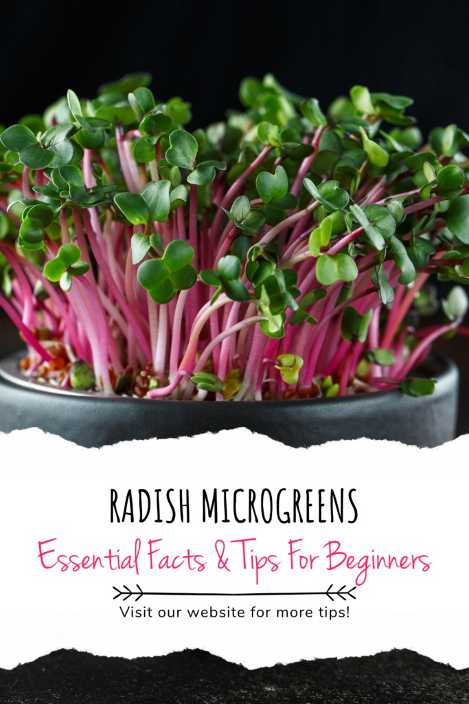 Radish Microgreens: Essential Facts & Tips For Beginners