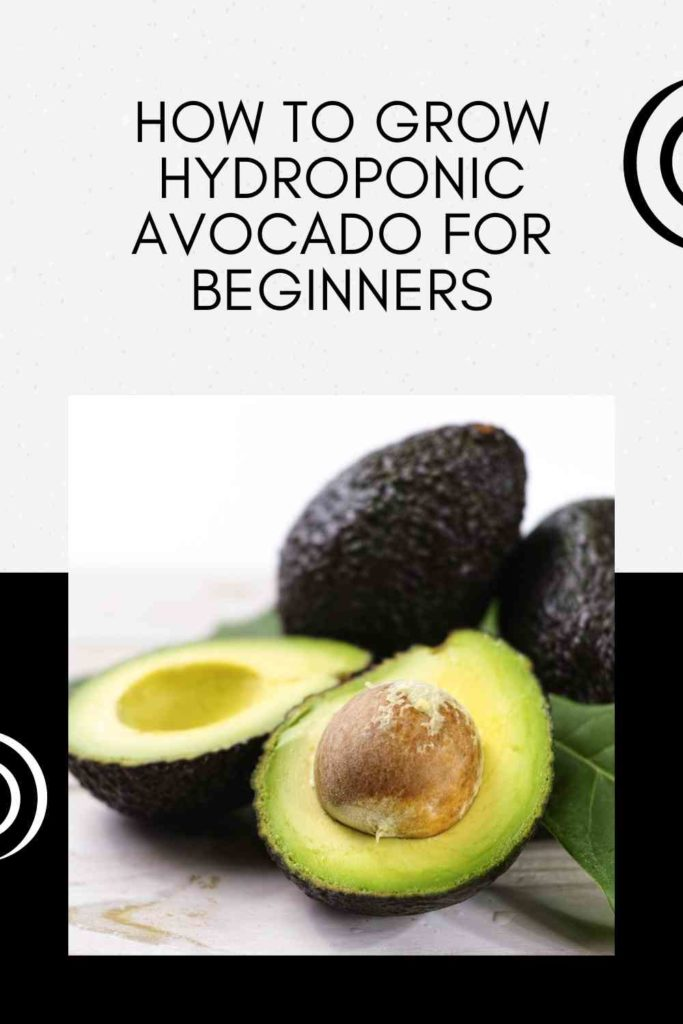 How To Grow Hydroponic Avocado For Beginners