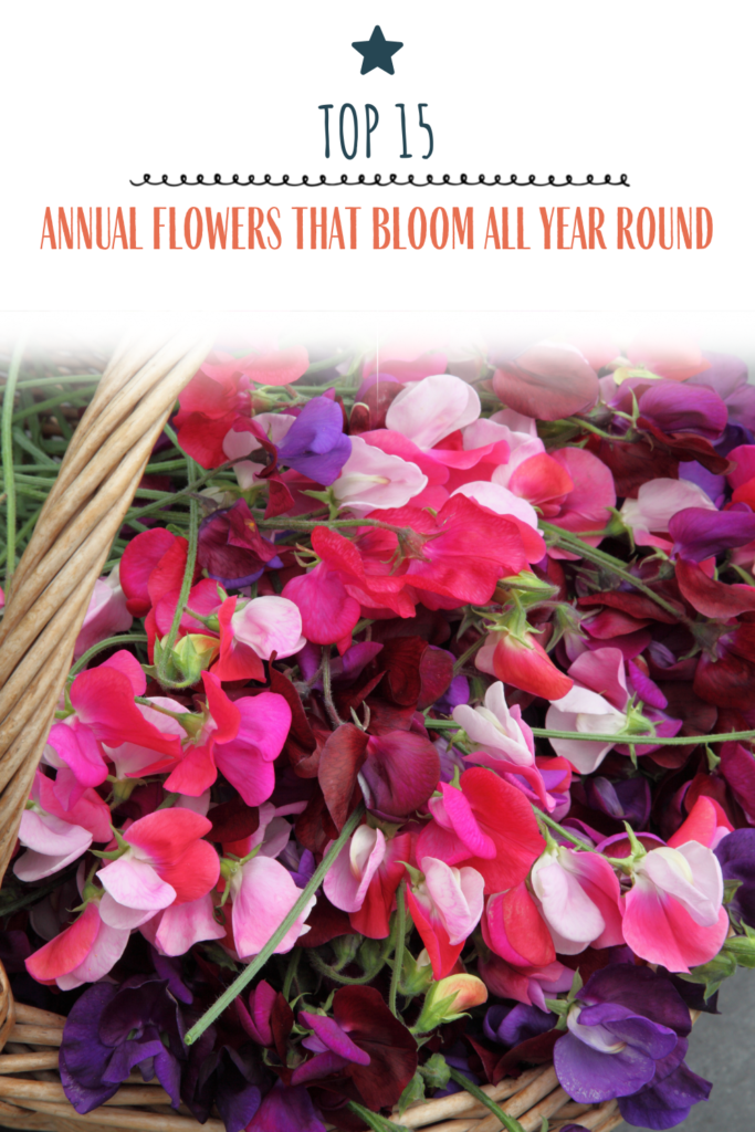 Top 15 Annual Flowers that Bloom All Year Round (Recommended by Garden Experts)
