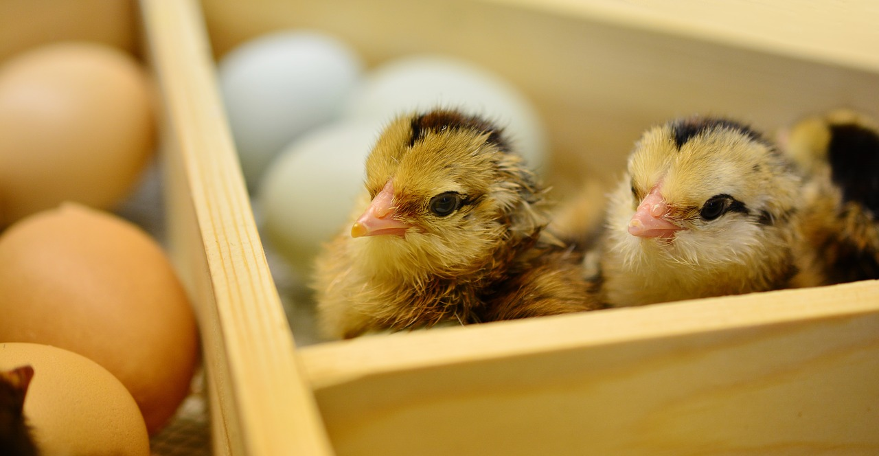 The 7 Best Tips About Hatch Your Own Chicks