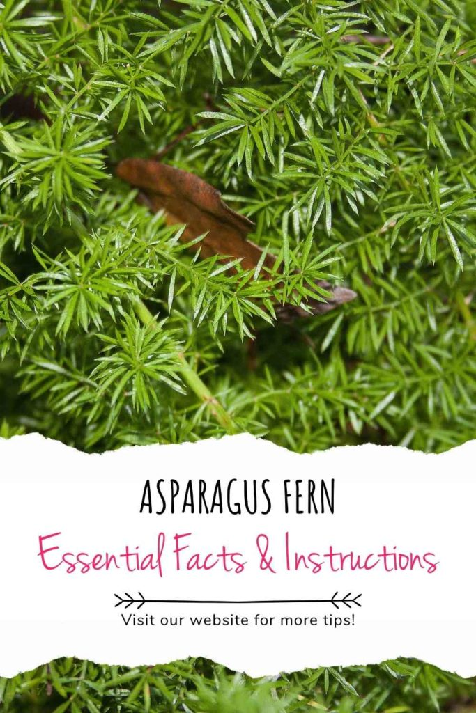 Asparagus Fern: Essential Facts & Instructions (For Beginners)