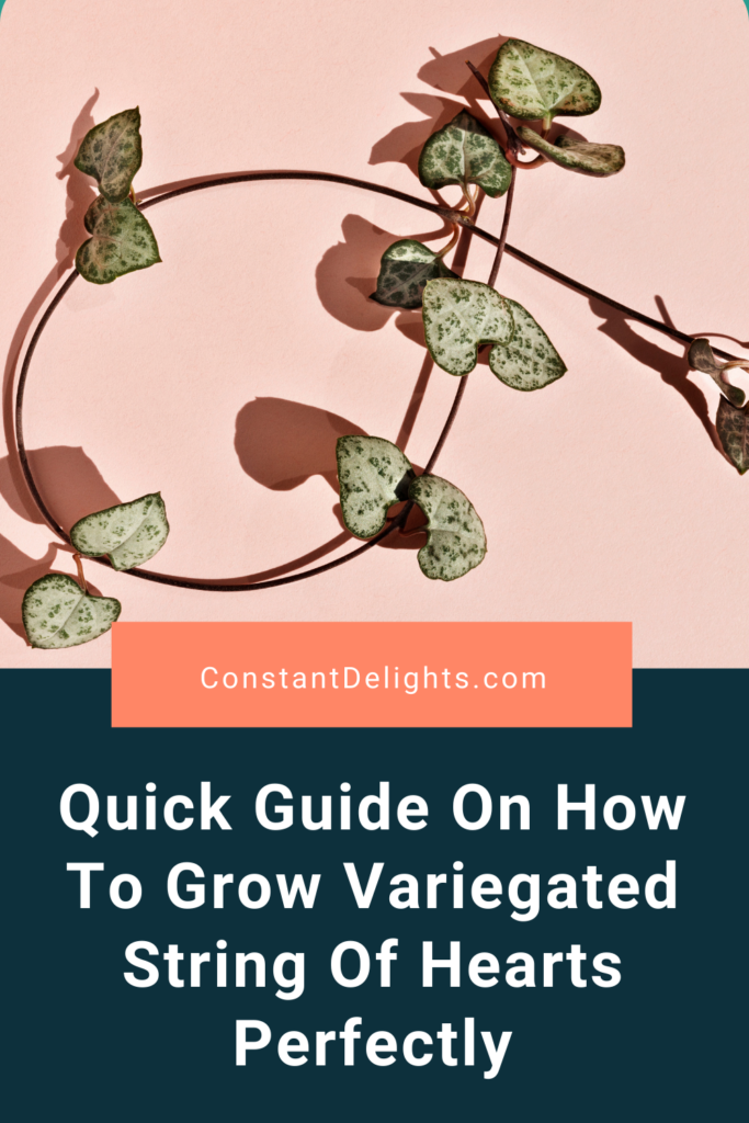 Quick Guide On How To Grow Variegated String Of Hearts Perfectly