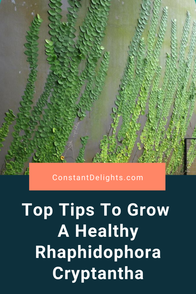 Top Tips To Grow A Healthy Rhaphidophora Cryptantha