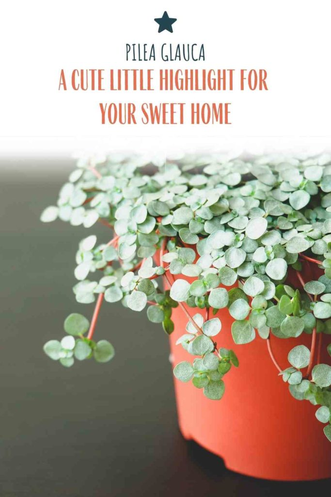 Pilea Glauca: A Cute Little Highlight For Your Sweet Home