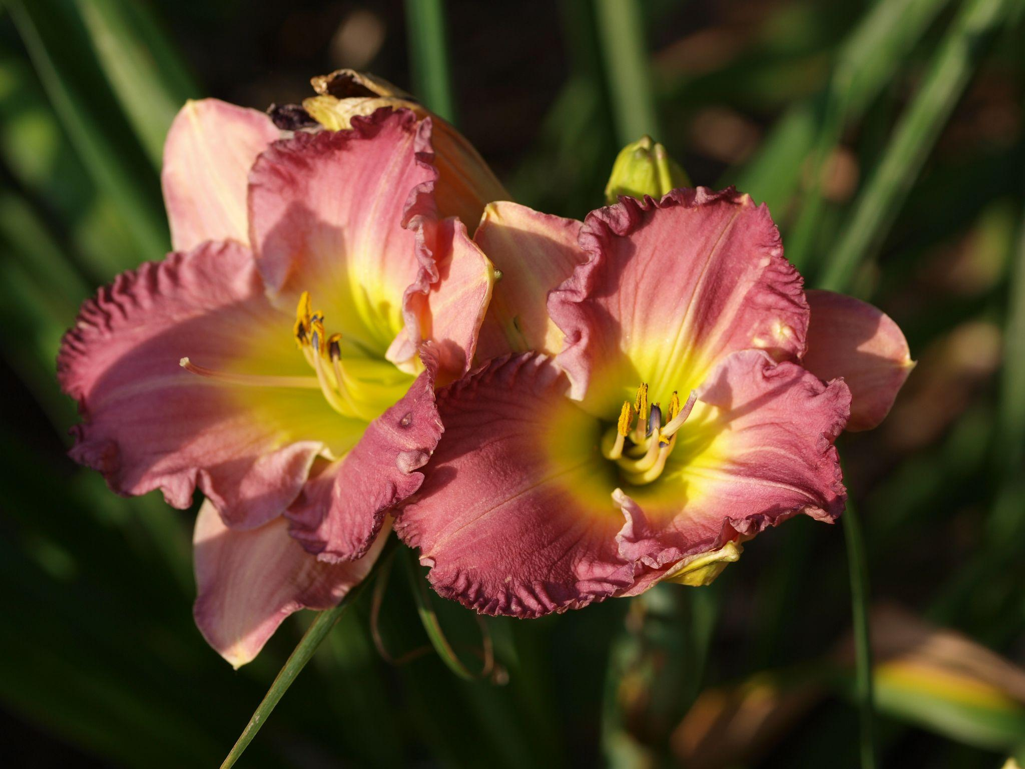 Blue Daylily: All About Growing, Caring & Propagating (Beginner's Guide)