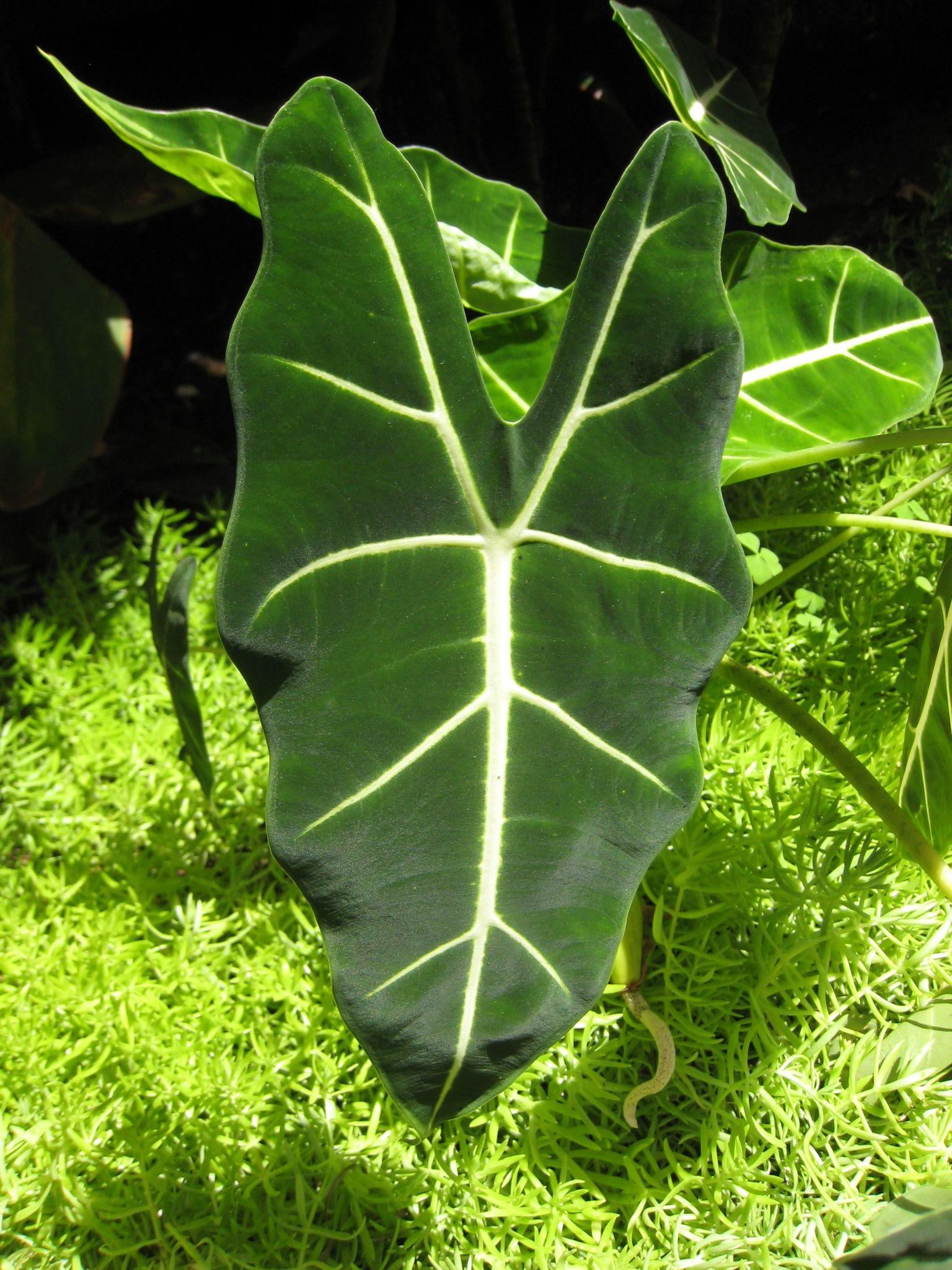 Alocasia Regal Shields: Care And Propagation Tips For Beginners