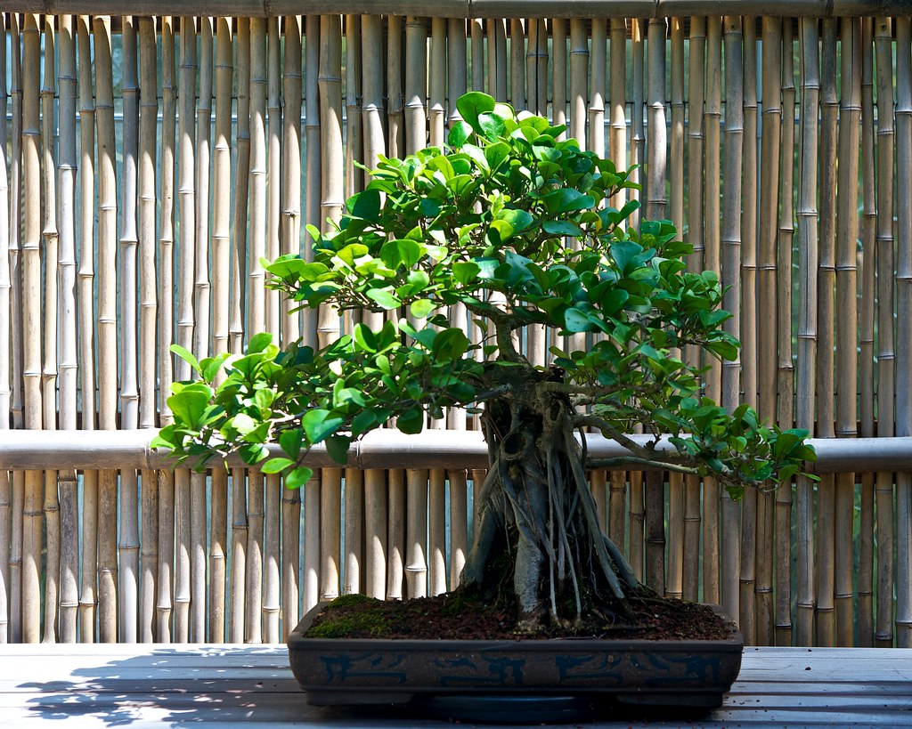 What Is Ficus Triangularis? - Plant Care And Growing Guide