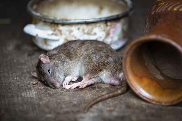 Best Rat Poison Reviews: What Kills Rat Instantly?